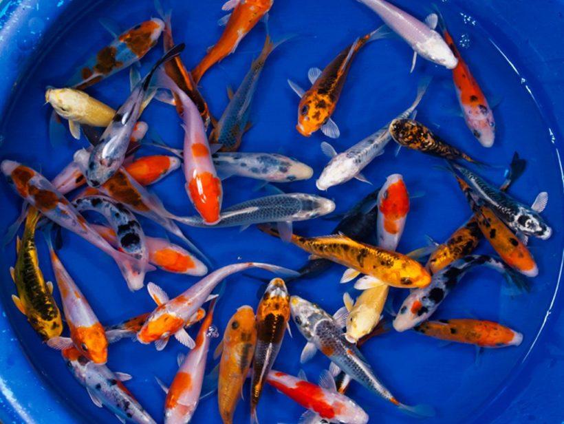 Harga Ikan Koi Teraru 2019 Murah Dan Berkualitas