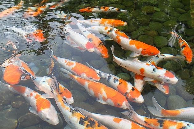Jual Bibit Ikan Koi Kediri Harga Murah