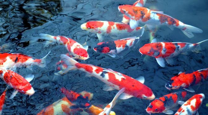 Bibit Indukan Ikan Koi Umur 1 Tahun