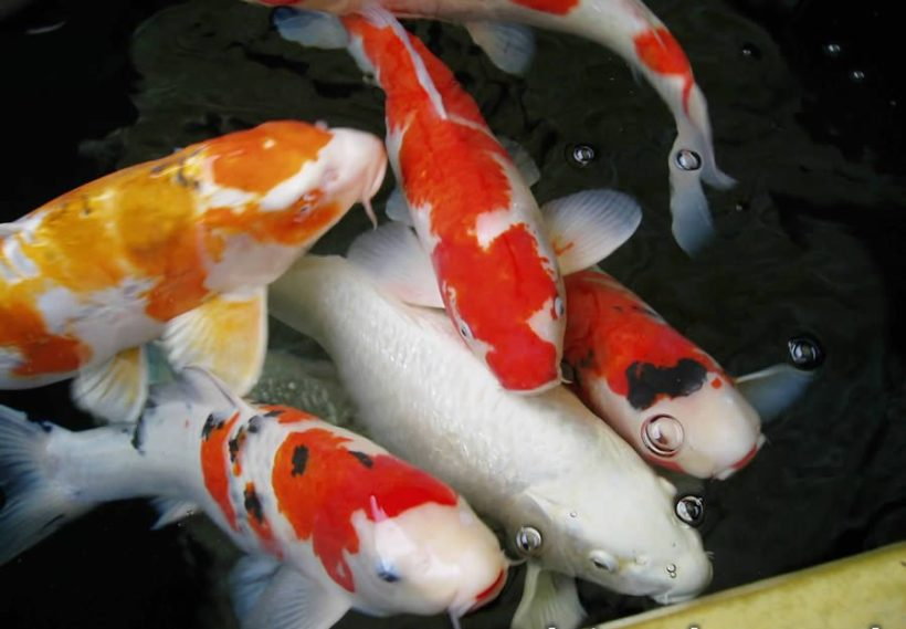 Jual Ikan Koi Kualitas Super- Ikan Koi merupakan jenis ikan hias air tawar yang mana jenis ini sangat banyak digemari oleh para penghobi dan pecinta ikan hias. Pada dasarnya ikan koi ini mempunyai banyak jenis yang dapat dilihat dari warna,corak dan juga body ikan. Untuk mengetahui jenis ikan koi kualitas terbaik, maka tahapan awal nya kita perlu mengenal masing-masing ikan jenis koi terlebih dahulu dengan melihat beragam kelebihan dan juga kekurangan masing-masing.  A. SEBAGAI KARYA SENI JEPANG Koi yang berwarna-warni dilahirkan dari ikan mas berwarna hitam yang biasa untuk lauk lewat mutasi. Seperti halnya dengan ikan yang ada di luaran sana, jika kelamin sudah matang maka koi akan kawin (memijah). Berkat ketekunan dan keuletannya, orang-orang Jepang berhasil melahirkan koi-koi yang bermutu tinggi lebih cantik dan warna yang lebih indah melebihi kecantikan dan keindahan induknya. Itulah suatu seni yang biasa dilakukan oleh orang Jepang.  B. JINAK DAN LEMAH LEMBUT Dalam kehidupan koi tidak dikenal istilah pemimpin kelompok dan tidak ada seekor pejantan kasar yang mengganggu koi betina. Sebagai penghuni lama, koi tidak akan menyerang koi pendatang.  Ikan koi termasuk jenis ikan hias yang unik dan juga jinak. Apabila pemiliknya sedang mengalami masalah baik di kantor maupun dengan anggota keluarga, koi dapat mencairkan situasi, koi bisa juga diajak bercanda layaknya hewan lain, dan juga koi ini mampu memberikan ketenangan dan kenyamanan pemiliknya. Koi akan mengikuti atau menghampiri pemiliknya ketika dipanggil.  Sedia ikan koi dengan segaka jenis dan ukuran,tentu dengan harga yang sangat terjangkau,hanya di sini  C. IKAN SAMURAI Disebut demikian karena ikan koi ini juga dikenal sebagai ikan yang pemberani. Meski koi adalah ikan yang lemah lembut namun jenis ikan koi yang satu ini tidak takut terhadap apapun sampai mereka dibantai. Oleh sebab itu, ikan koi yang berada di Jepang disebut juga dengan ikan samurai.  Masa hidup koi ini pada umumnya hanya sampai sekitar 74