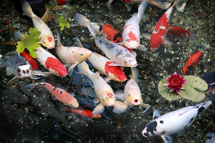 Pemberian Pakan Berkualitas Untuk Ikan Koi