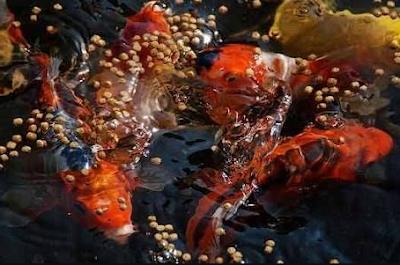 Cara Memberi Pakan Untuk Ikan Koi