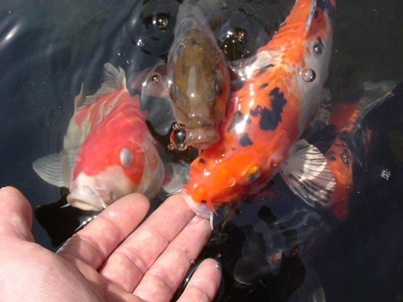 Jenis-Jenis Pakan Untuk Ikan Koi